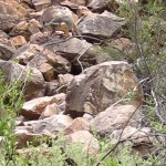Yellow-footed rock-wallaby (Petrogale xanthopus) at Bunyeroo Gorge, SA